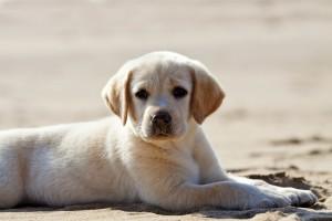 perrito labrador en la arena